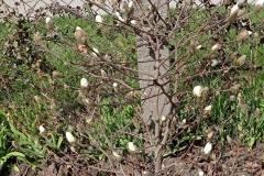 Drzewko-Magnolii-rozkwitajace-paki